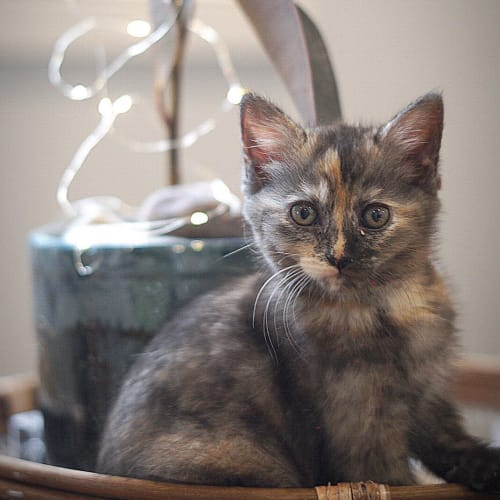 Myrtle ~ 7 week old female kitten - Domestic Short Hair Cat