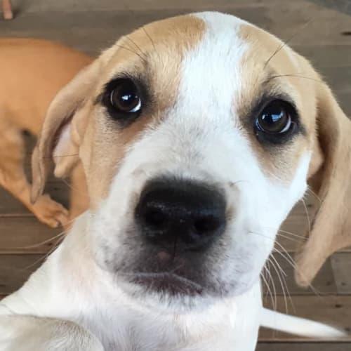 Piper - Bull Arab Dog