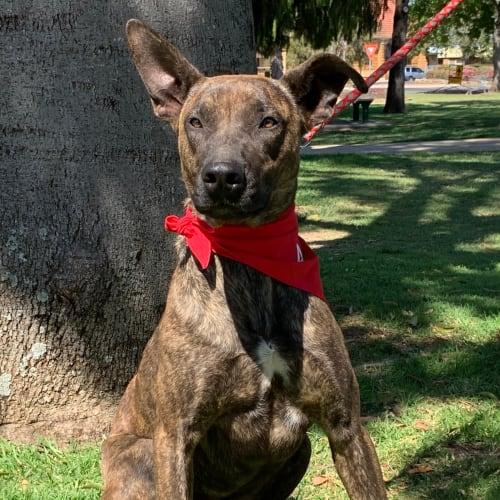 Finn - Staffordshire Bull Terrier Dog