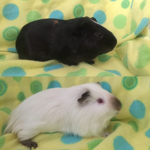 Scooter & Jiffy - Smooth Hair x Himalayan Guinea Pig