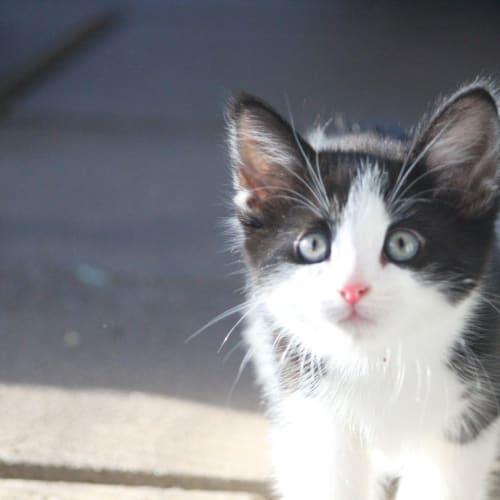 Monroe - Domestic Medium Hair Cat