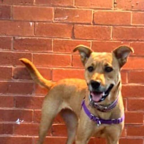 Tilly - Kelpie Dog