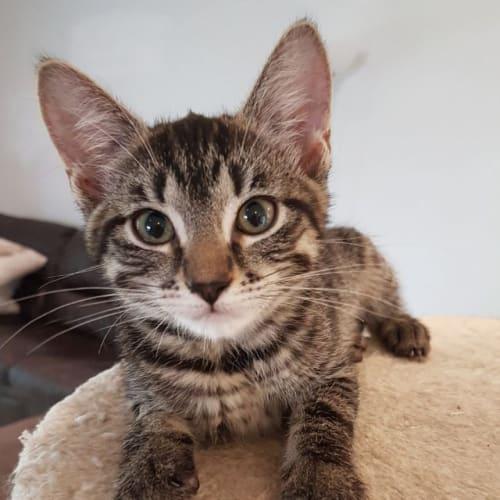 Maz - Domestic Short Hair Cat