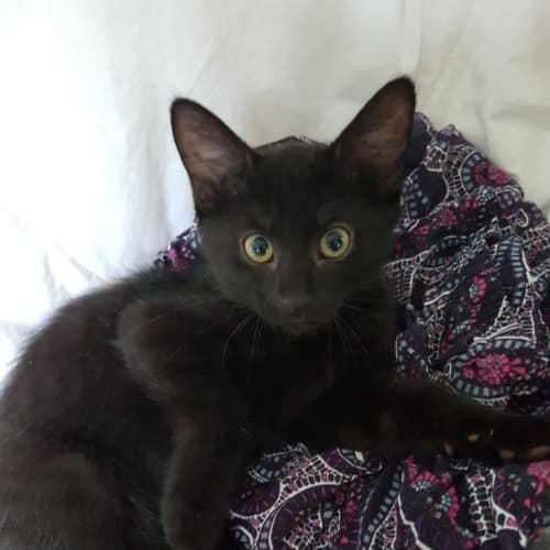 Nebula - Domestic Short Hair Cat