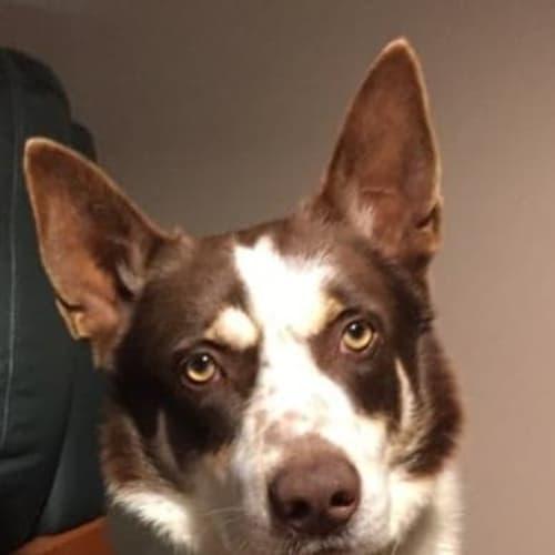 Hogan - Border Collie x Kelpie Dog