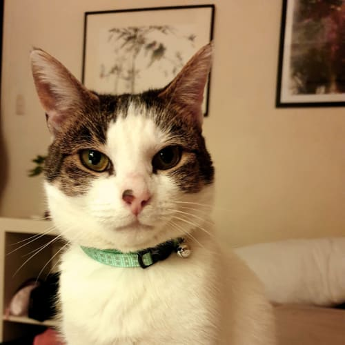 Konnichiwa - Located in Northcote - Domestic Short Hair Cat