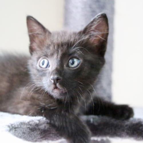 Storm ~ 7 week old male kitten - Domestic Short Hair Cat