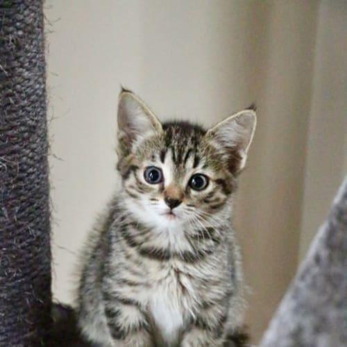 Star ~ 7 week old female kitten - Domestic Short Hair Cat