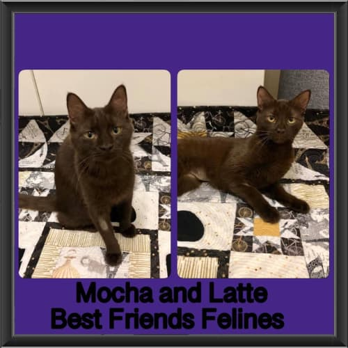 Mocha & Latte  - Burmese Cat