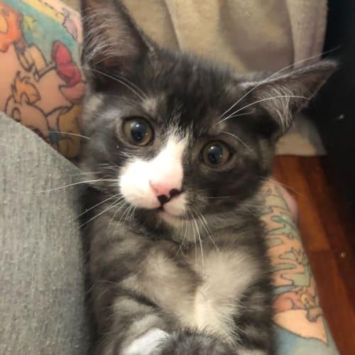 Branch - Domestic Short Hair Cat