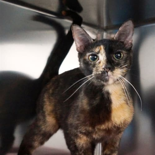 Dasiy - Domestic Short Hair Cat