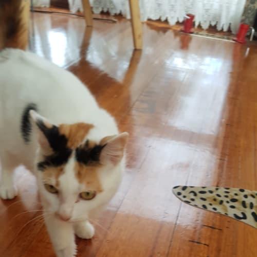 Erin - Meet me at Best Friends, Preston. 7/12/19 - Domestic Short Hair Cat