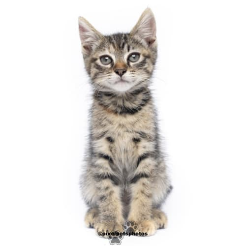 Sol - Domestic Short Hair Cat