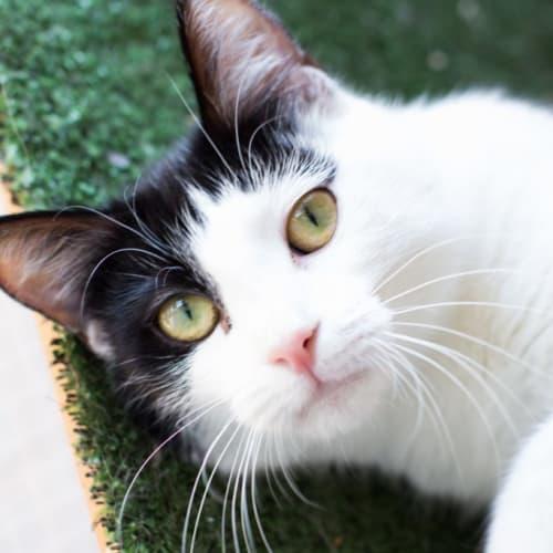 Athena - Domestic Short Hair Cat