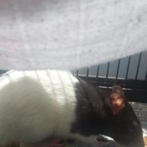 Kellogg - Rat