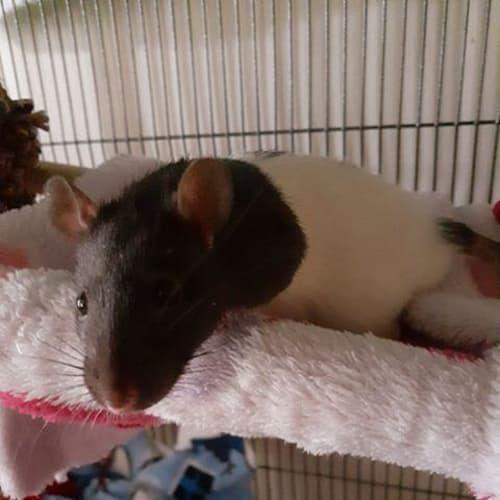 Prancer - Rat