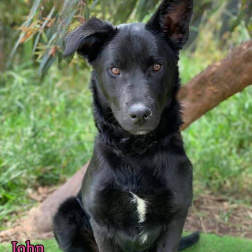 John - Border Collie Dog