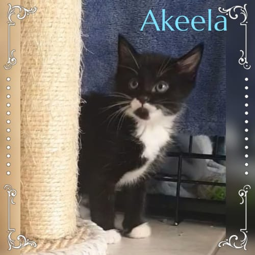 Akeela - Domestic Short Hair Cat