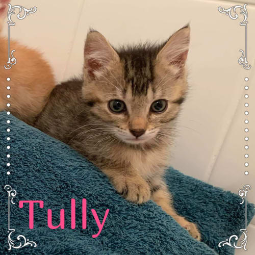 Tully - Domestic Short Hair Cat