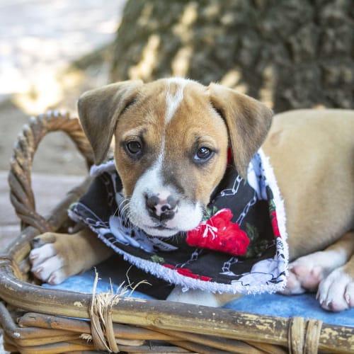 Pearl ~ lovely Mastiff x puppy - Mastiff Dog