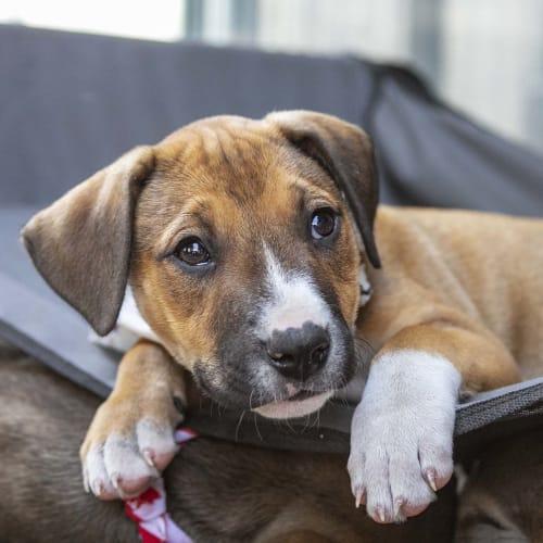 Sapphire ~ sweet Mastiff x puppy - Mastiff Dog