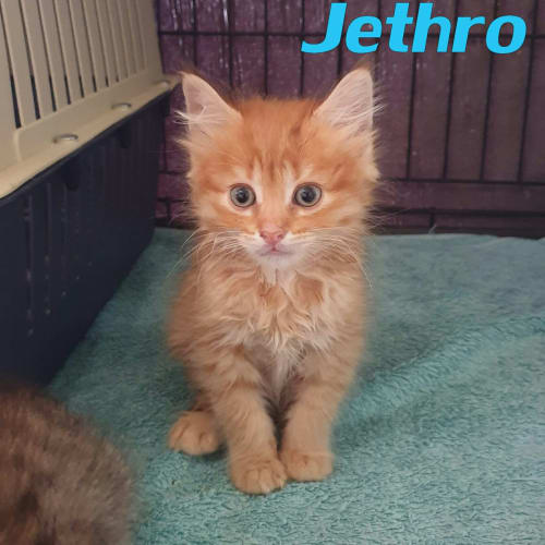 Jethro - Domestic Short Hair Cat