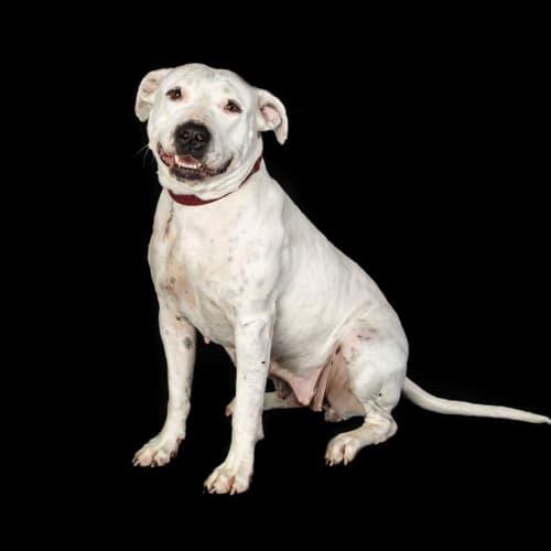 Twinkie - American Staffordshire Terrier Dog