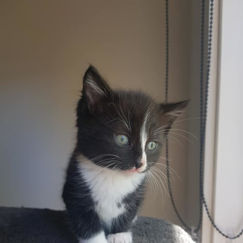 Pixel - available mid to late December - Domestic Short Hair Cat
