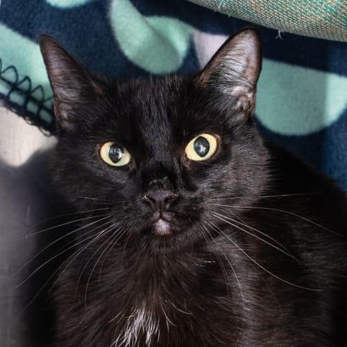 Lagatha - Domestic Short Hair Cat