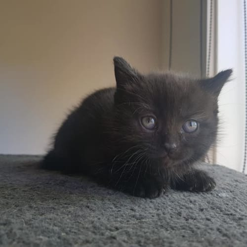 Elvira available mid to late December - Domestic Short Hair Cat