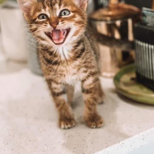 Oakley - Domestic Short Hair Cat