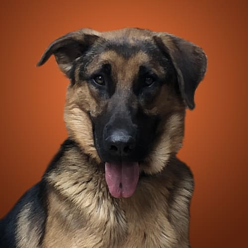 Rusty ~ German Shepherd x Great Dane - German Shepherd x Great Dane Dog