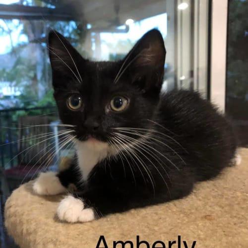Amberly - Domestic Short Hair Cat