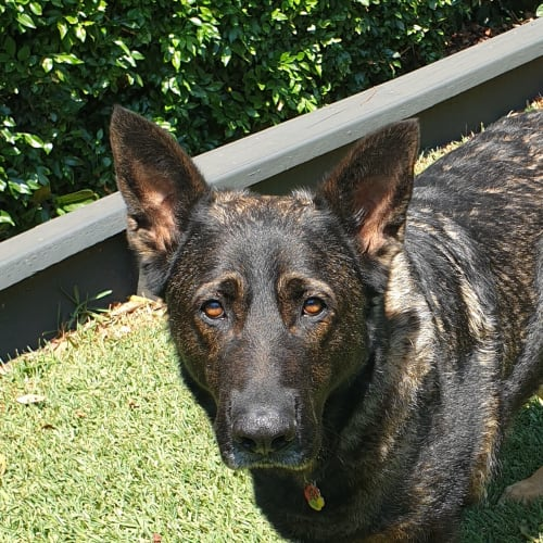 Rocky - German Shepherd Dog
