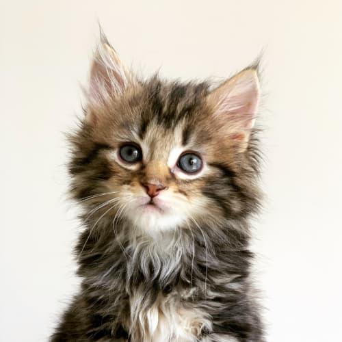 Kath Applications now closed! - Domestic Medium Hair Cat