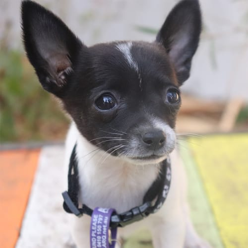 Blackberry - Chihuahua Dog
