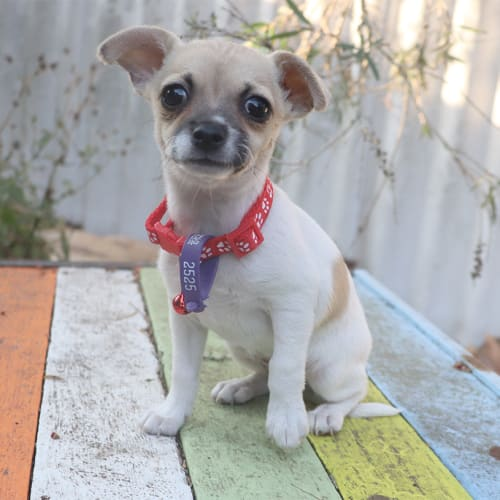 Raspberry - Chihuahua Dog