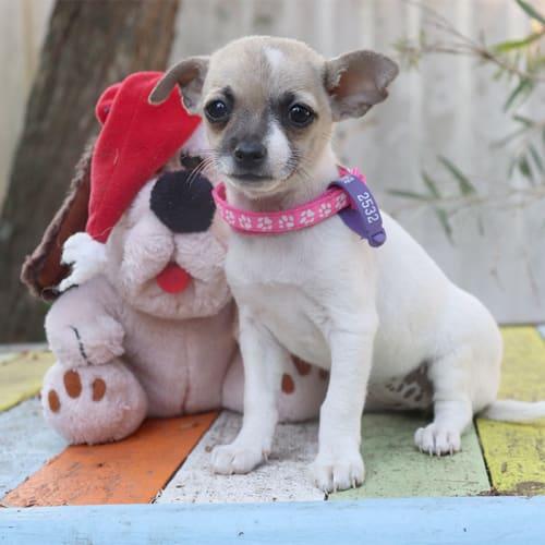 Strawberry - Chihuahua Dog