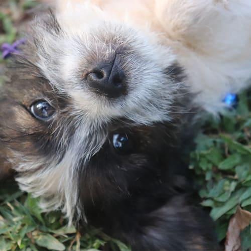 Griffin - Shih Tzu x Fox Terrier Dog