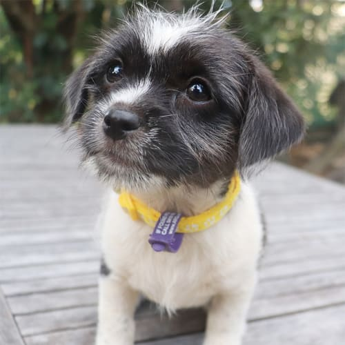 Gina - Shih Tzu x Fox Terrier Dog