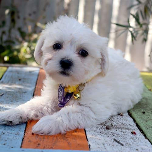 Evelyn - Shih Tzu Dog