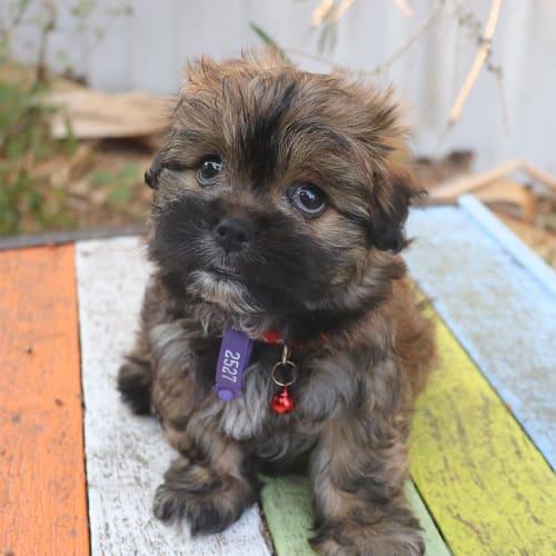 Victoria - Shih Tzu x Poodle Dog