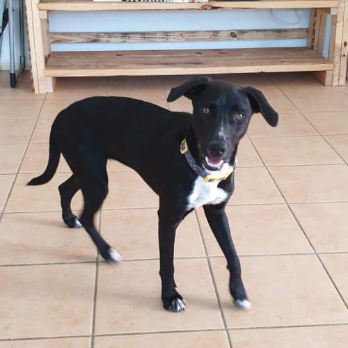 Tess - Kelpie Dog