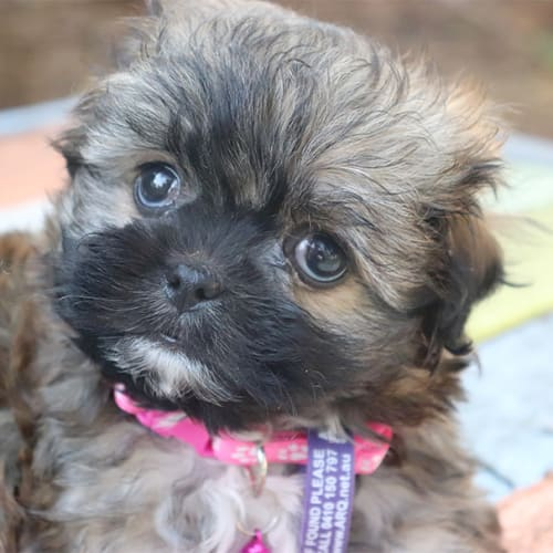 Elizabeth - Shih Tzu x Poodle Dog