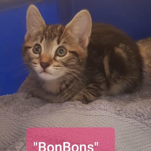 BonBons - Domestic Short Hair Cat