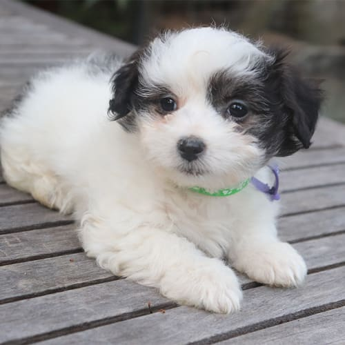 Agatha - Lhasa Apso Dog