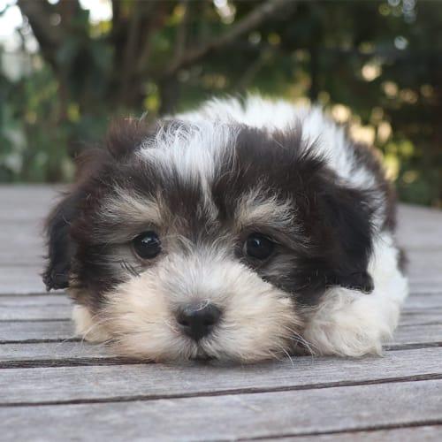 Adeline - Lhasa Apso Dog