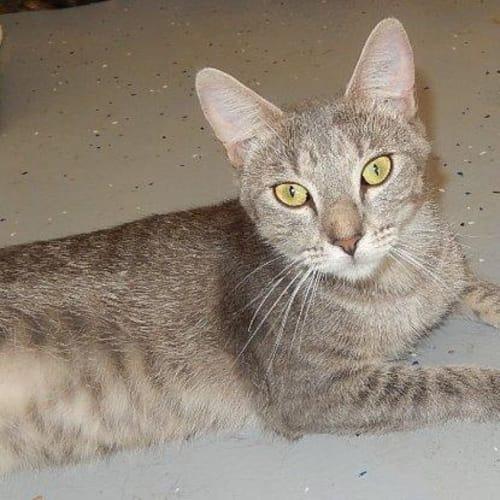 Harrison - Domestic Short Hair Cat