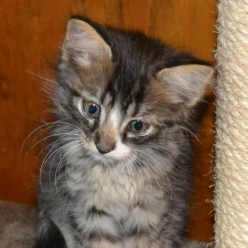 Windston - Domestic Short Hair Cat