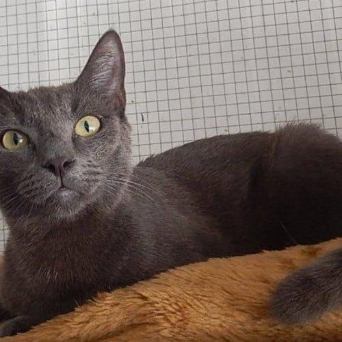 Denton - Domestic Short Hair Cat